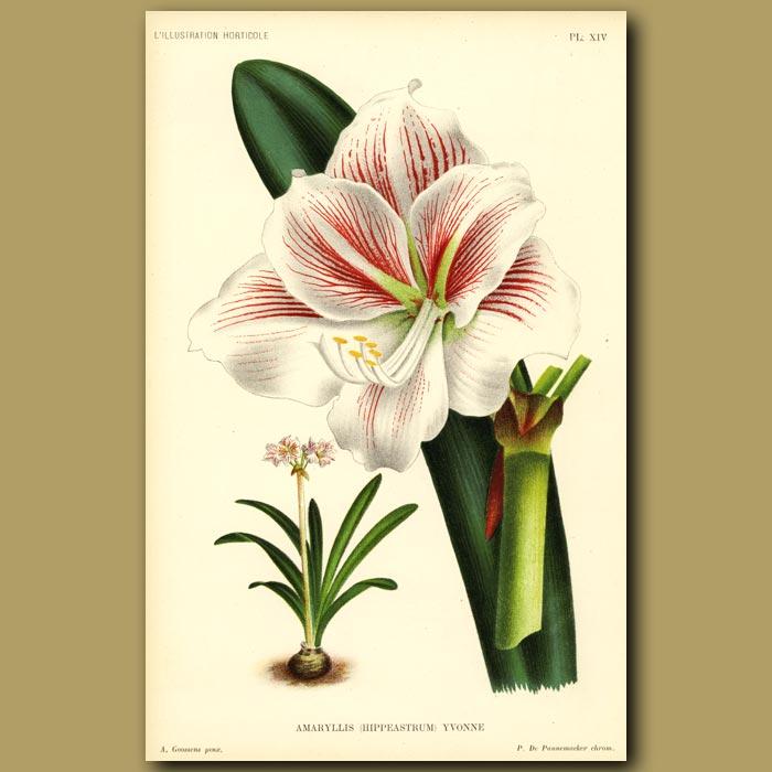 Antique print. Amaryllis
