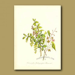 Barberry in flower, Barberry in fruit and Barren-wort