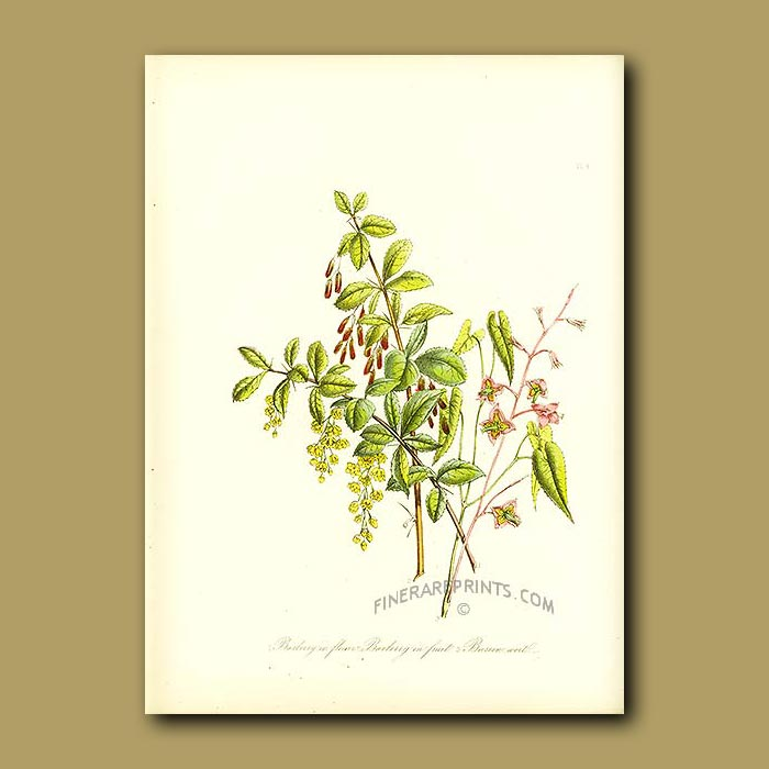 Antique print. Barberry in flower, Barberry in fruit and Barren-wort