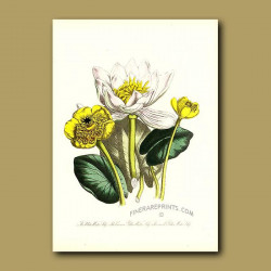 White Water Lily, Common Yellow Water Lily and Small Yellow Water Lily