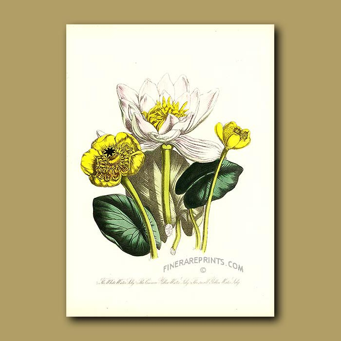 Antique print. White Water Lily, Common Yellow Water Lily and Small Yellow Water Lily