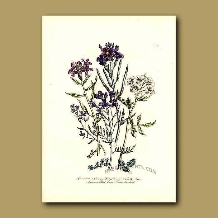 Antique print. Coral-root, Common Lady's Smock, Butter Cress