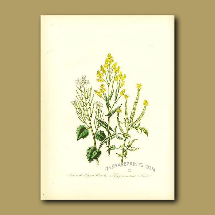Antique print. Jack in the Hedge or Sauce Alone, Hedge Mustard