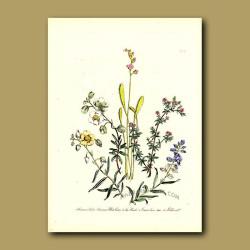Great Sundew (carnivorous), Milkwort