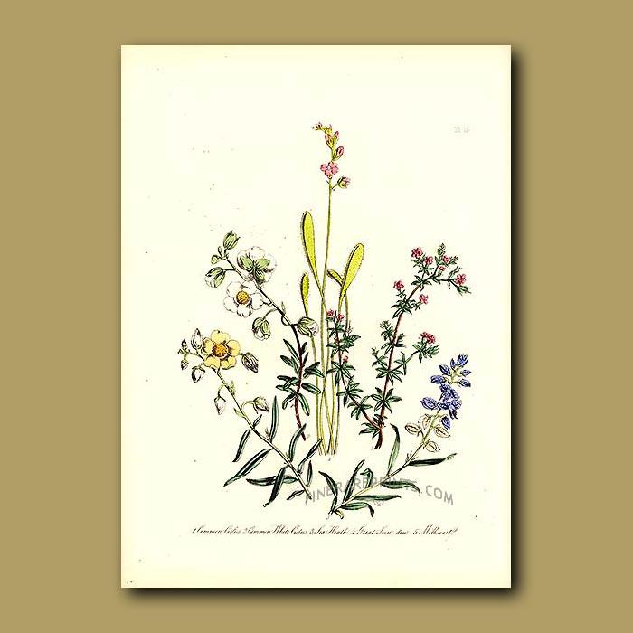 Antique print. Great Sundew (carnivorous), Milkwort
