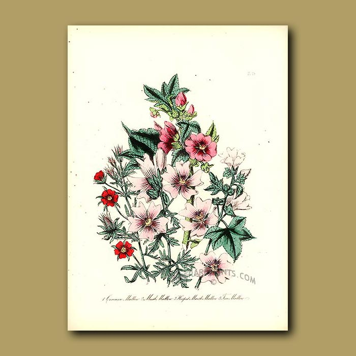 Antique print. Common Mallow, Musk Mallow