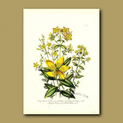 Large Flowered St.John's Wort and St.Peter's Wort