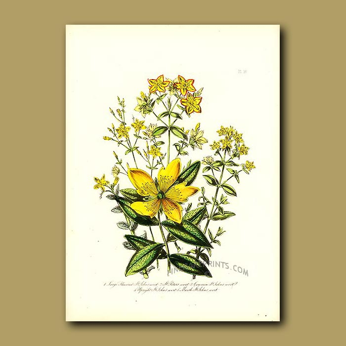 Antique print. Large Flowered St.John's Wort and St.Peter's Wort