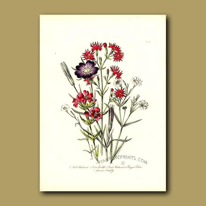 Antique print. Field Chickweed, Corn Cockle, Great Stitchwort