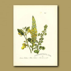 Common Navelwort, Yellow Navelwort