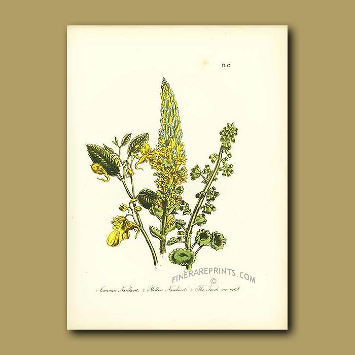 Antique print. Common Navelwort, Yellow Navelwort