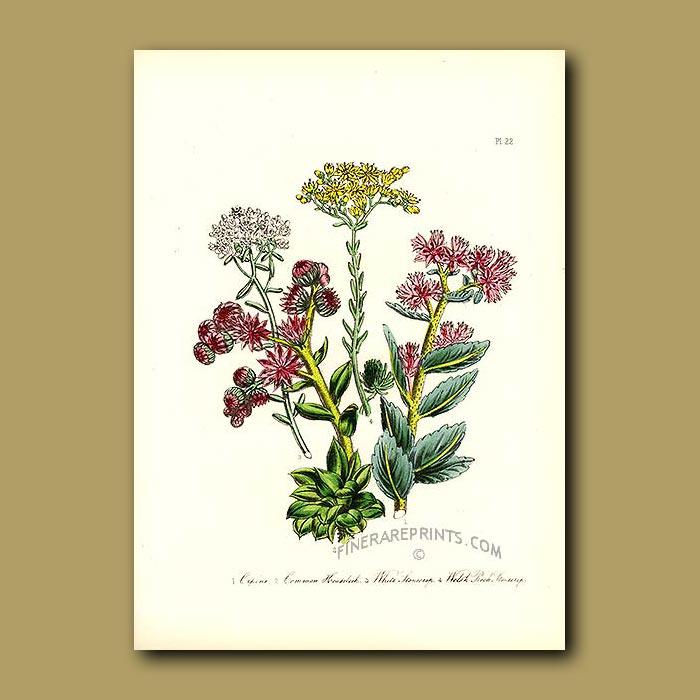 Antique print. Orpine, Common Houseleek