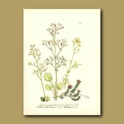 Broad-petaled Saxifrage and Purple Mountain Saxifrage