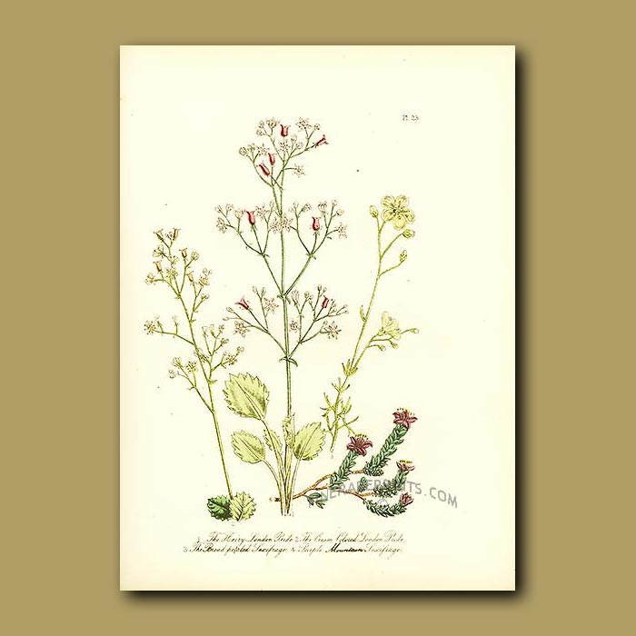 Antique print. Broad-petaled Saxifrage and Purple Mountain Saxifrage