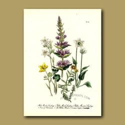 White Meadow Saxifrage, Yellow-Marsh Saxifrage, Yellow Mountain Saxifrage