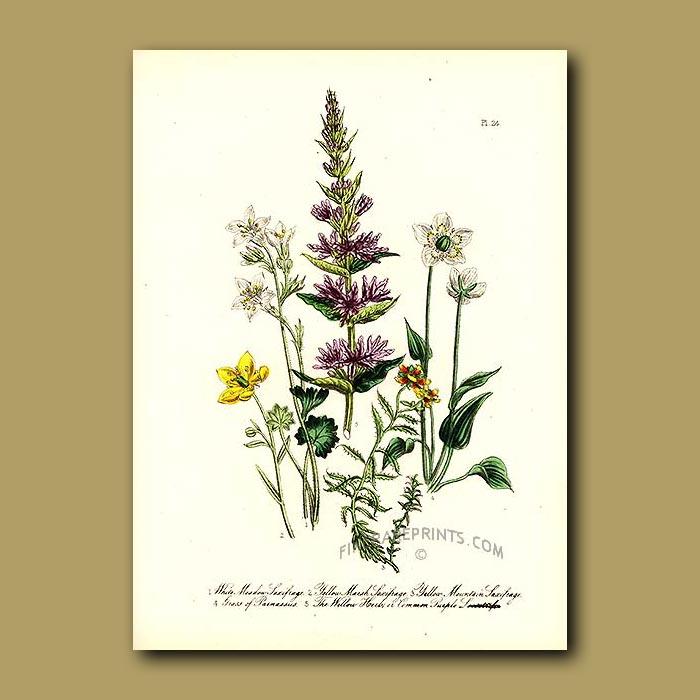 Antique print. White Meadow Saxifrage, Yellow-Marsh Saxifrage, Yellow Mountain Saxifrage