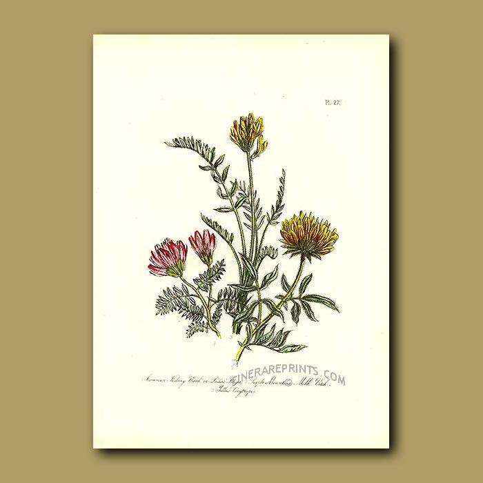 Antique print. Common Kidney Vetch, Purple Mountain Milk Vetch