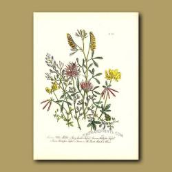 Common Yellow Melilot, Starry-headed Trefoil, Common Bird's Foot Trefoil