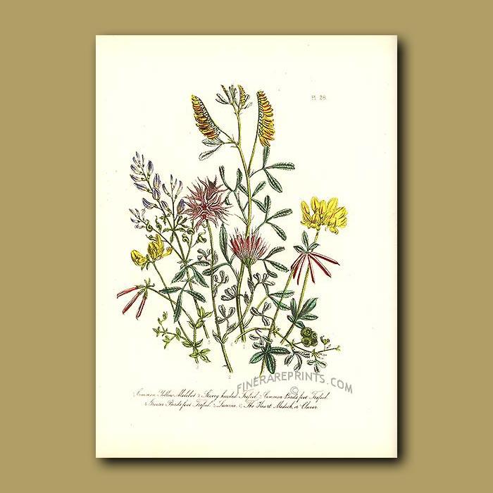 Antique print. Common Yellow Melilot, Starry-headed Trefoil, Common Bird's Foot Trefoil