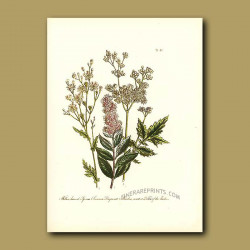 Willow-leaved Spiroea, Common Droppwort