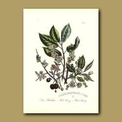 Sloe or Blackthorn, Wild Cherry and Bird Cherry