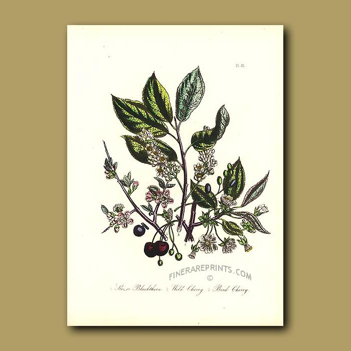 Antique print. Sloe or Blackthorn, Wild Cherry and Bird Cherry