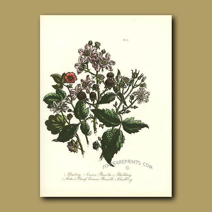 Antique print. Dewberry, Common Bramble or Blackberry