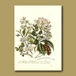 Hawthorn, Common Cotoneaster, Wild Apple