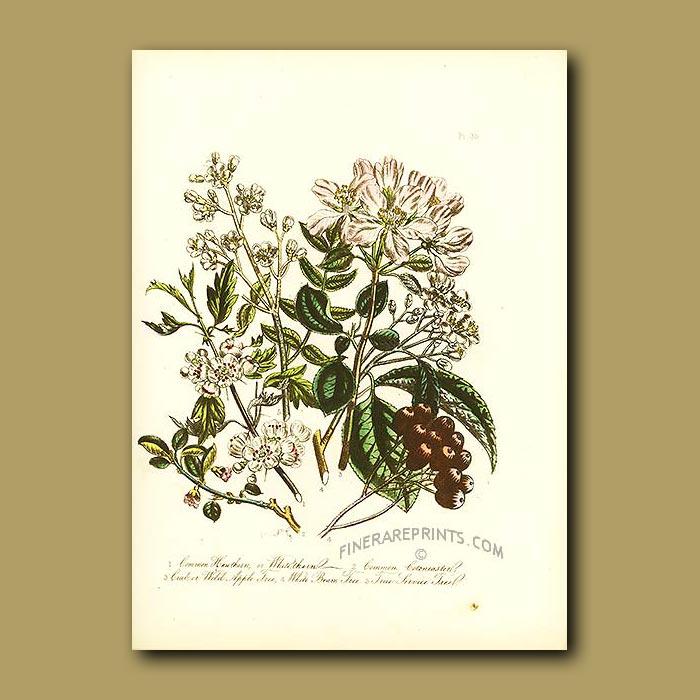 Antique print. Hawthorn, Common Cotoneaster, Wild Apple