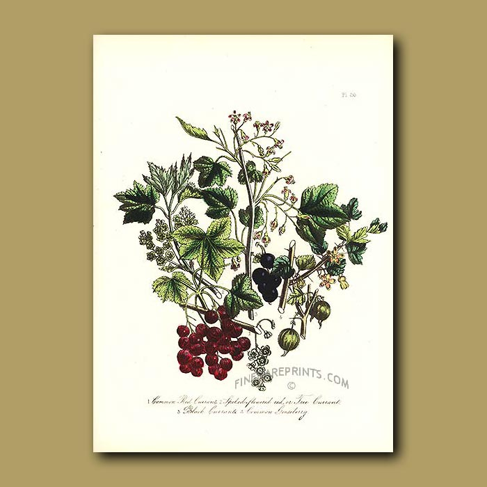 Antique print. Common Red Currant, Spiked-flowered red or Tree Currant