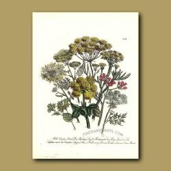 Wild Carrot, Great Bur-Parsley, Small Hartswort, Sea Hogs Fennel