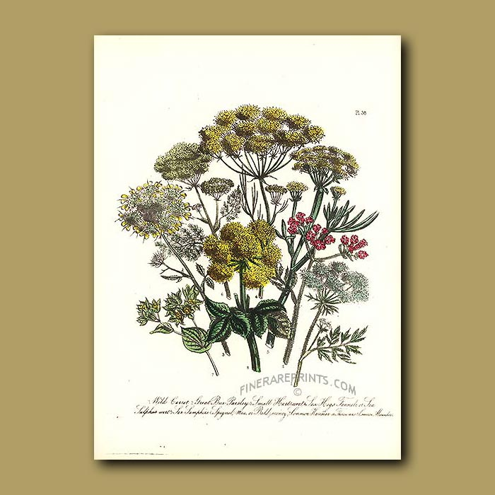Antique print. Wild Carrot, Great Bur-Parsley, Small Hartswort, Sea Hogs Fennel