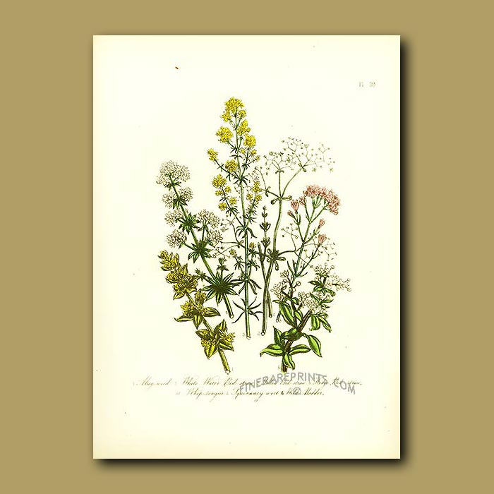 Antique print. Mug-weed, White Water Bed-straw, Yellow Bed-straw, Hedge Bed-straw