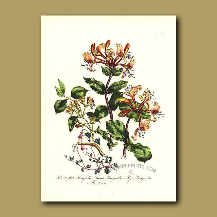 Antique print. Pale Perfoliate Honeysuckle, Common Honeysuckle