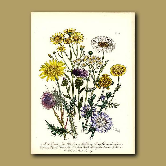 Antique print. Marsh Ragwort, Great White Ox-eye, Ox-eye Chamomile, Common Yarrow