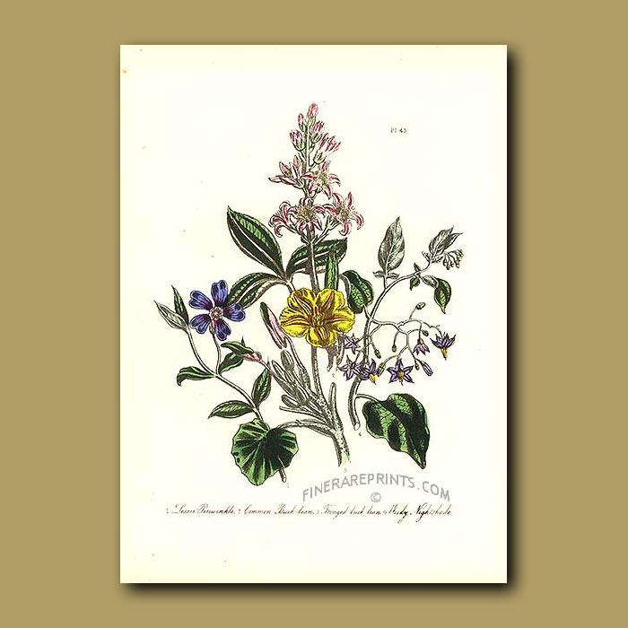 Antique print. Lesser periwinkle, Common Buck-bean