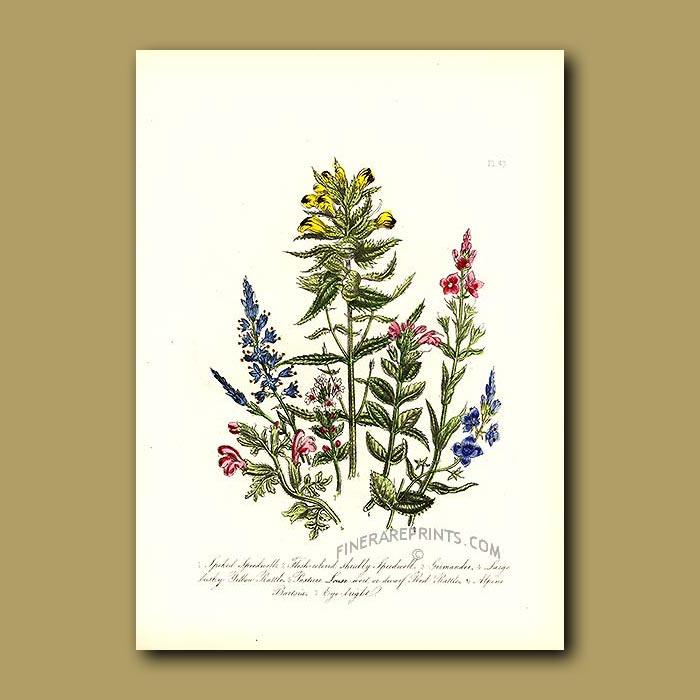 Antique print. Spiked Speedwell, Flesh-coloured shrubby Speedwell, Germander, Rattle