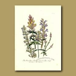 Blue Broom Rape, Toothwort, Crested Cow-wheat