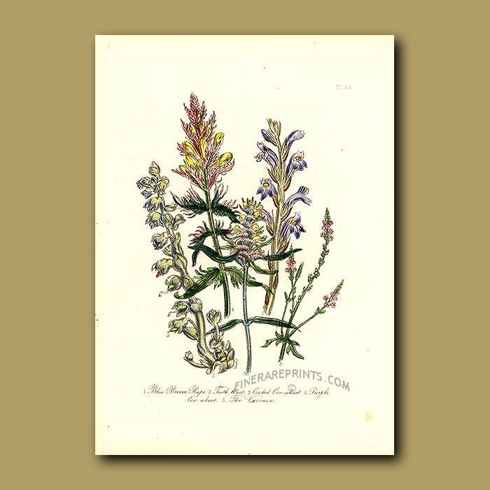Antique print. Blue Broom Rape, Toothwort, Crested Cow-wheat