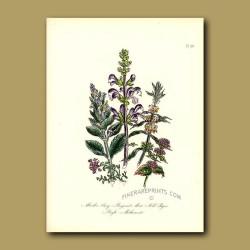 Meadow Clary, Bergamot, Mint, Wild Thyme