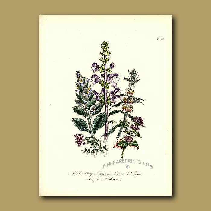 Antique print. Meadow Clary, Bergamot, Mint, Wild Thyme