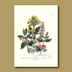 Bastard Balm, Bee Nettle, Hedge Woundwort