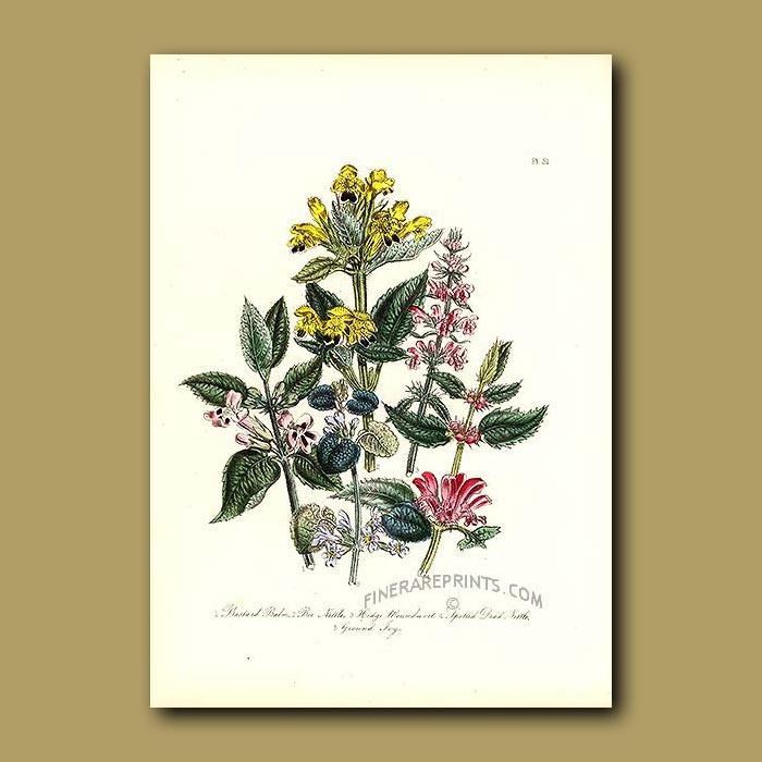 Antique print. Bastard Balm, Bee Nettle, Hedge Woundwort