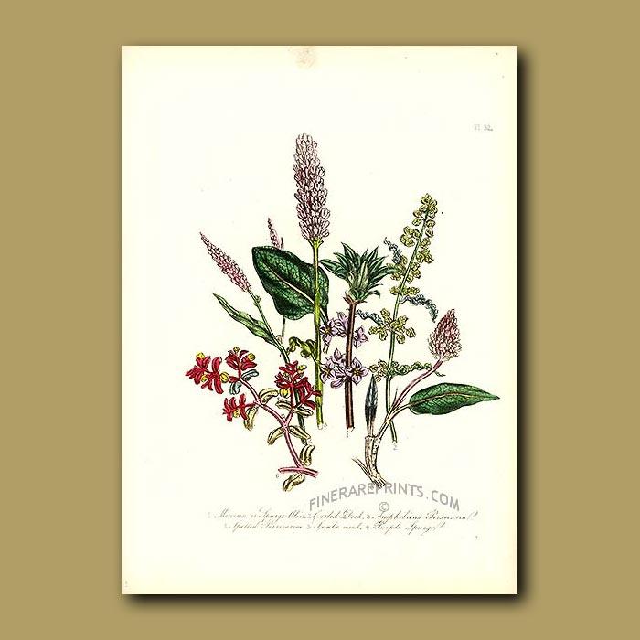 Antique print. Mezereon, Curled Dock, Amphibious Persicaria