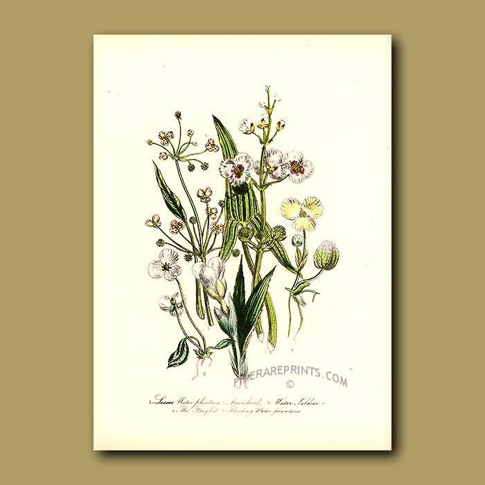 Antique print. Lesser Water Plantain, Arrowhead, Water Soldier