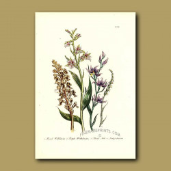 Bird's Nest Orchis and Lady's Tresses Orchid