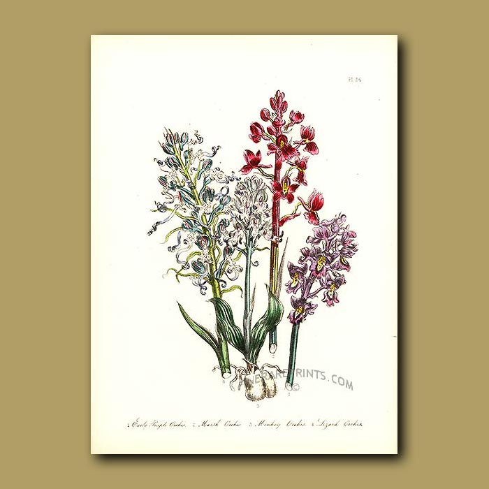 Antique print. Orchids: Early Purple Orchis, Marsh Orchis
