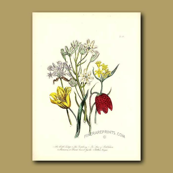 Antique print. Wild Tulip, Fritilary, Star of Bethlehem