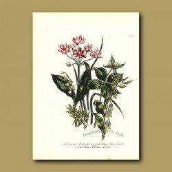Flowering Rush, Lily of the Valley, Solomon's Seal