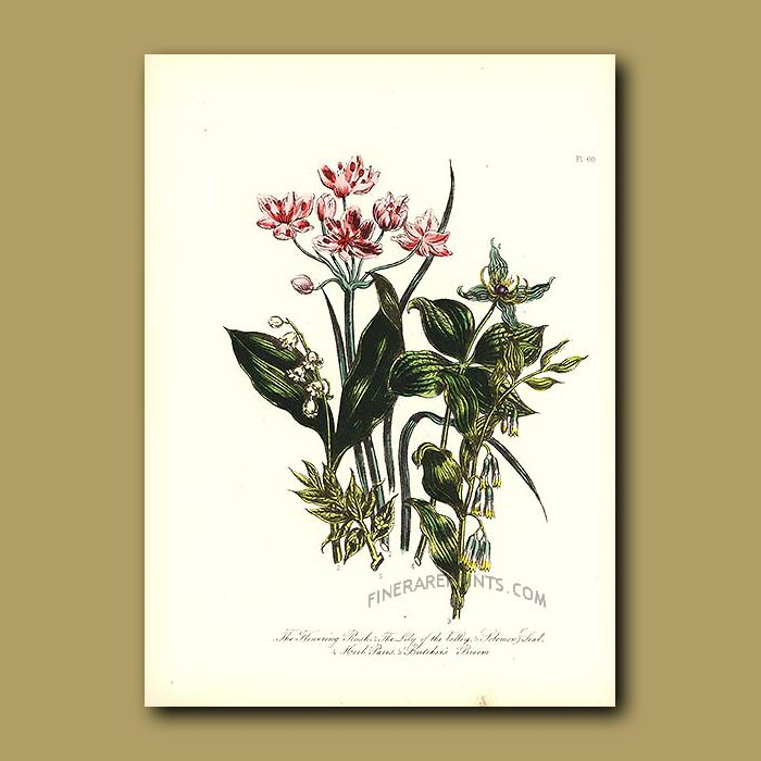 Antique print. Flowering Rush, Lily of the Valley, Solomon's Seal
